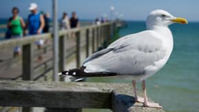 Bird Expert Claims A Herring Gull Snatched Chihuahua From Owner's Garden