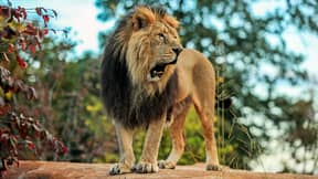 Eight Percent Of Americans Think They Could Beat A Lion In An Unarmed Fight