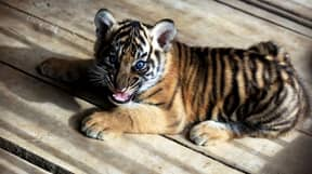 Couple Who Bought 'Kitten' Online Find Out It's Actually A Tiger Cub