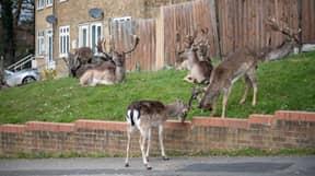 Deer Take Over Deserted East London Neighbourhood During Lockdown