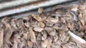 PETA Begs Aussie Farmers Not To Kill Mice That Are Plaguing Their Properties
