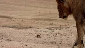Tiny Crab Fends Off Pride Of Lions In South Africa