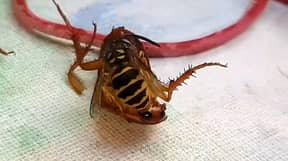 Wasp Beheads Cockroach On Dining Table Before Flying Off With Its Head