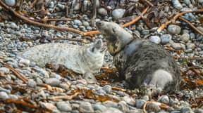 Upsetting Photos Show Seal Choking On Fishing Line
