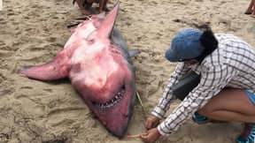 Great White Shark Washes Up On Massachusetts Beach In Mysterious Circumstances