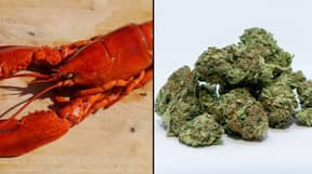 Getting A Lobster High Might Be More Humane Way To Kill It