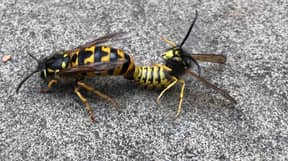 Man Takes Close-Up Photo Of Wasps Committing 'X-Rated Act'