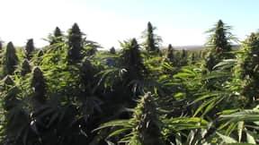 Police Bust Largest Marijuana Plantation In Europe