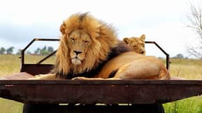 Pride Of Lions Butchered In South Africa For Use In Black Magic Potions