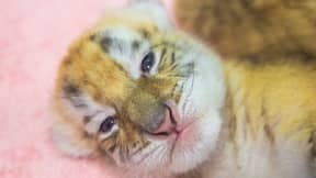 Four Extremely Rare Golden Tiger Cubs Born In China Zoo