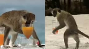 Look What Happens When Monkeys Get Hammered