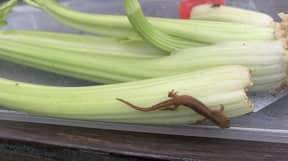 Family Who Found Newt Hiding In Aldi Celery Have Adopted It