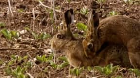Springwatch Viewers Shocked By 'Hardcore Hare Porn' Before The Watershed