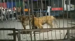 Performing Tiger Escapes Circus Cage As Crowd Panic