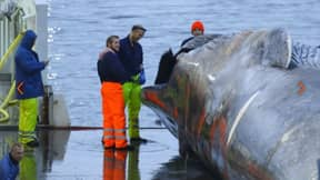 Whalers Kill First 'Blue Whale' In Over Fifty Years In Iceland