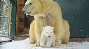 First Polar Bear Cub To Be Born In 25 Years In UK Emerges From Den