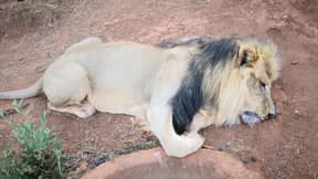Lion Has Face And Paws Hacked Off By Poachers