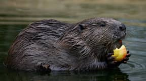 73-Year-Old Man 'Lucky To Be Alive' After Allegedly Being Mauled By Rabid Beaver