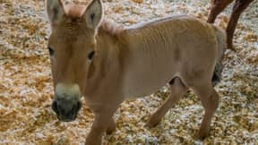 Scientists Hope First Cloned Przewalski's Horse Could Help Save Endangered Species