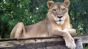 Lion Dies In Zoo After Overheating In North Carolina