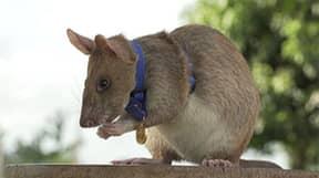 Hero Landmine Detection Rat Awarded Minature Gold Medal For 'Lifesaving Bravery'