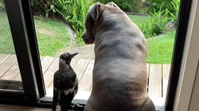 Staffy Becomes Unlikely Best Mates With Adopted Magpie In Australia