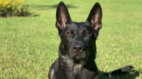 Police Dog Shot And Killed In Line Of Duty After Saving Colleagues' Lives