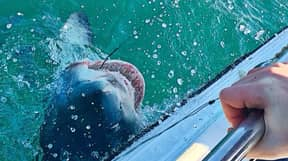 Shark Weighing A Massive 32 Stone Caught Off The Coast Of Cornwall