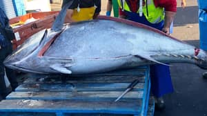 Record-Breaking 271kg Tuna Fish Caught Off The Coast Of New South Wales