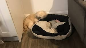 Dog Leaves Sleeping Space On Cushion For His Best Puppy Pal Who Died A Year Ago