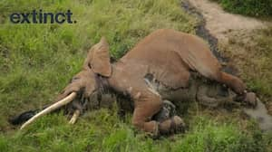 Poachers Kill Rare Elephant Leaving Just 25 Left In The World