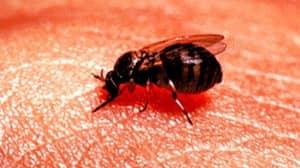Warning Over Bloodsucking Blandford Flies
