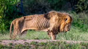Photographer Captures Lion Left To Die Alone In South Africa