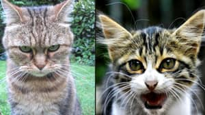 Cats Understand Their Owners' Voices But Choose To Ignore Them