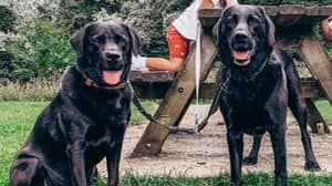 'Heartbroken' Family Share Footage Of Labradors Being Stolen In Broad Daylight