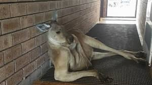 Let's Face It, None Of Us Are As Cool As This Kangaroo