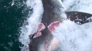 Two Great White Sharks Bite Giant Chunks Out Of Each Other In Frenzied Attack