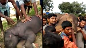 Villagers Carry 100KG Baby Elephant On Brink Of Collapse To Safety