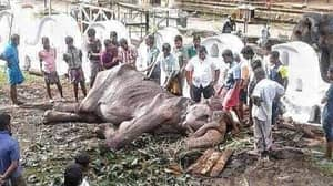 Starving 70-Year-Old Elephant Collapses From Exhaustion After Sri Lankan Festival