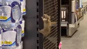 Horrific Moment Giant Rat Climbs Shelves In Australian Aldi Store