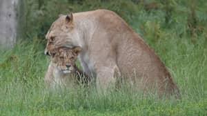 Visitors Watch In Horror As Lions Kill Monkey At Scottish Safari Park