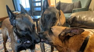 Suspecting Dogs Give Kisses To Their Brother Dog Who Is Getting Put Down