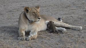 This Is The Heartwarming Moment A Lioness Nurses A Leopard Baby