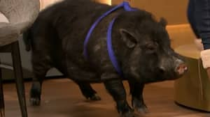 Fans Are Calling Marcus The Mystic Pig A Fraud After Last Night's Result