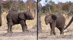 Baby Elephant Spotted In The Wild Without A Trunk