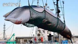 Japan Will Resume Commercial Whaling Today Even Though They Never Actually Stopped