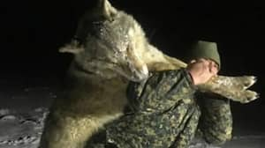 Huge Wolf Killed As Large Packs Terrorise Russian Villages