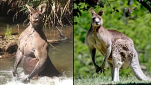 Kangaroo Batters Three People Leaving One Of Them In Hospital With Serious Injuries