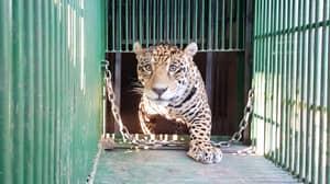 World's First Jaguar Born Via Artificial Insemination Eaten By Its Mum