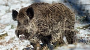 Wild Boar Kills German Hunter Who Was Trying To Shoot Him